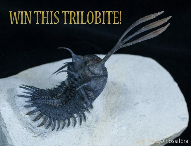 March Fossil Giveaway - Walliserops Trilobite